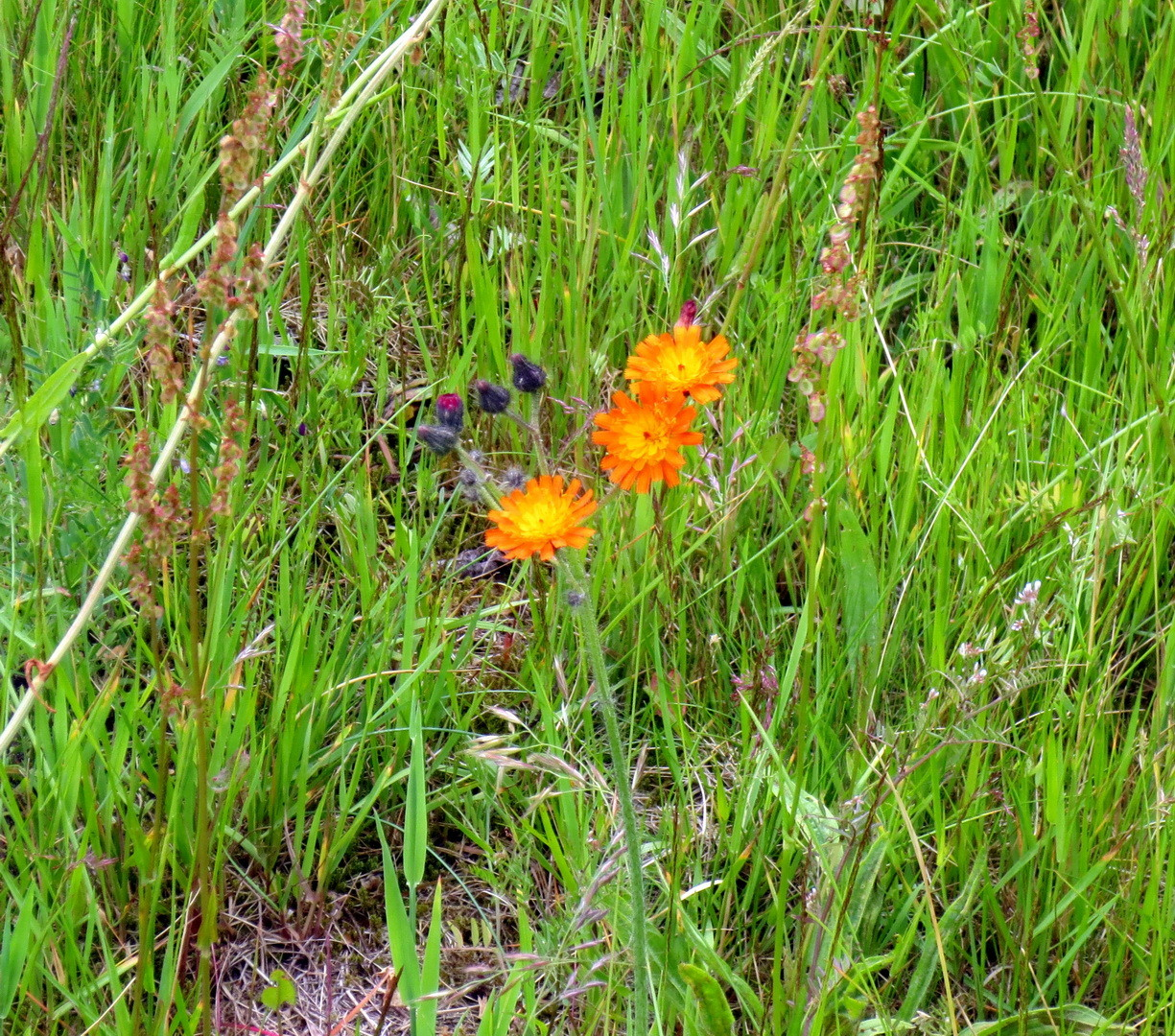 Orangerotes Habichtskraut (Hieracium aurantiacum) Juni 2015