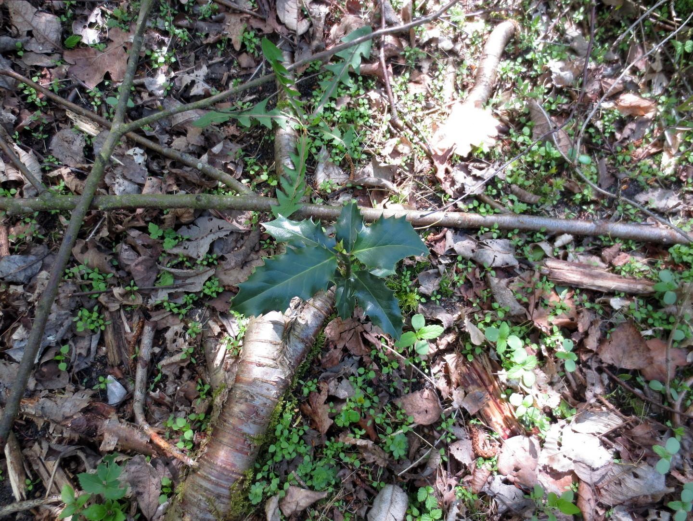 Gemeine Stechpalme, (Ilex aquifolium) BArtSchV:  besonders geschützt  16.04.2014
