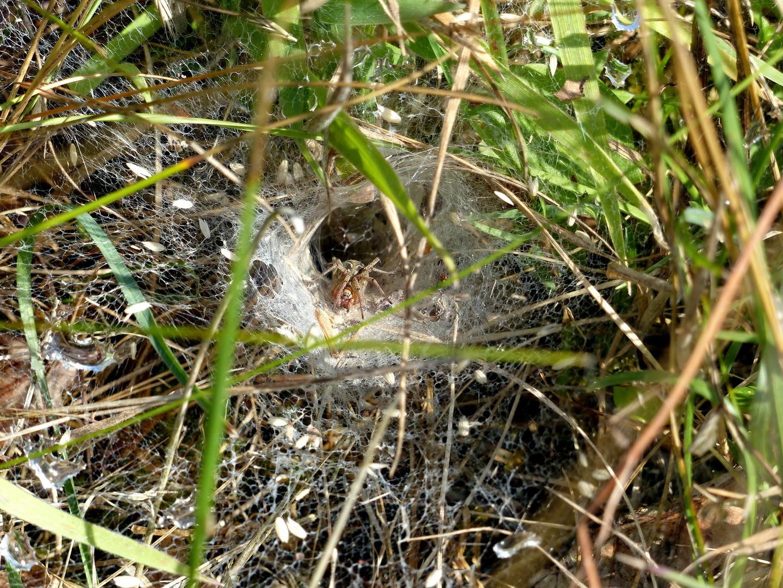 Trichterspinne (Agelenidae)