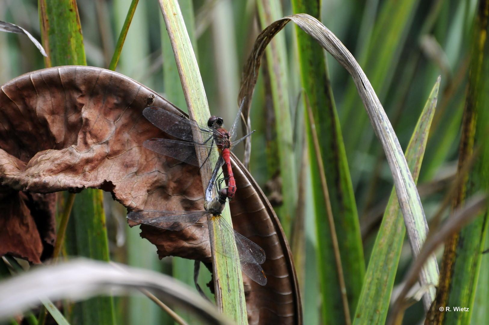 Blutrote Heidelibelle(Sympetrum sanguineum) 27.09.2014