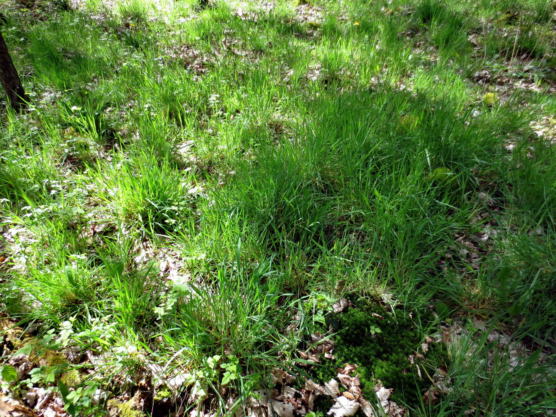Wolliges Honiggras (Holcus lanatus L.,)  16.04.2014
