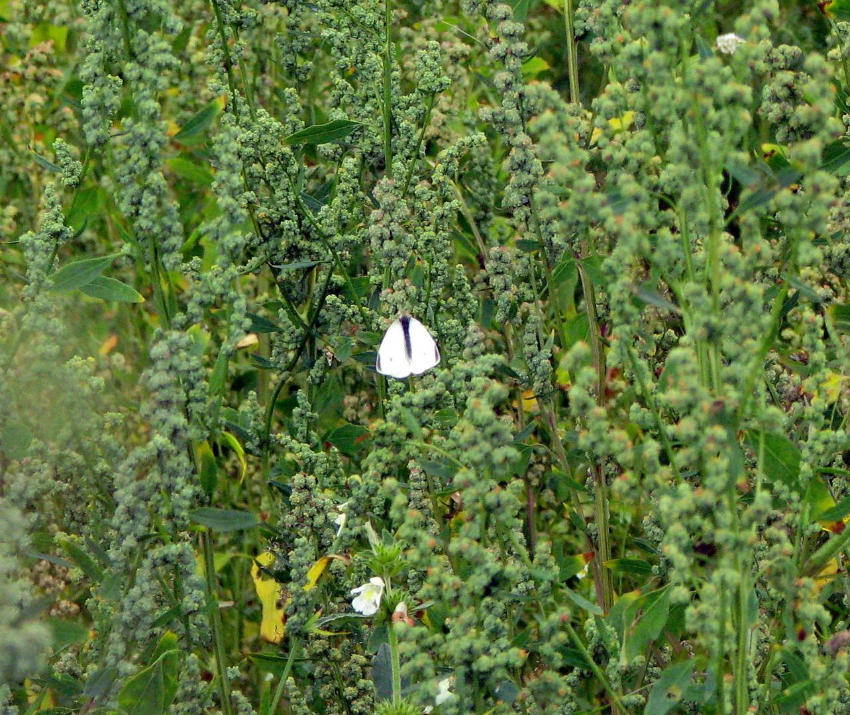 Weißling (Pieridae) 12.07.2014