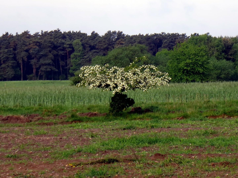 Eingriffeliger Weißdorn (Crataegus monogyna) im unteren Teil jeden Winter vom Rotwild verbissen 10. Mai 2014