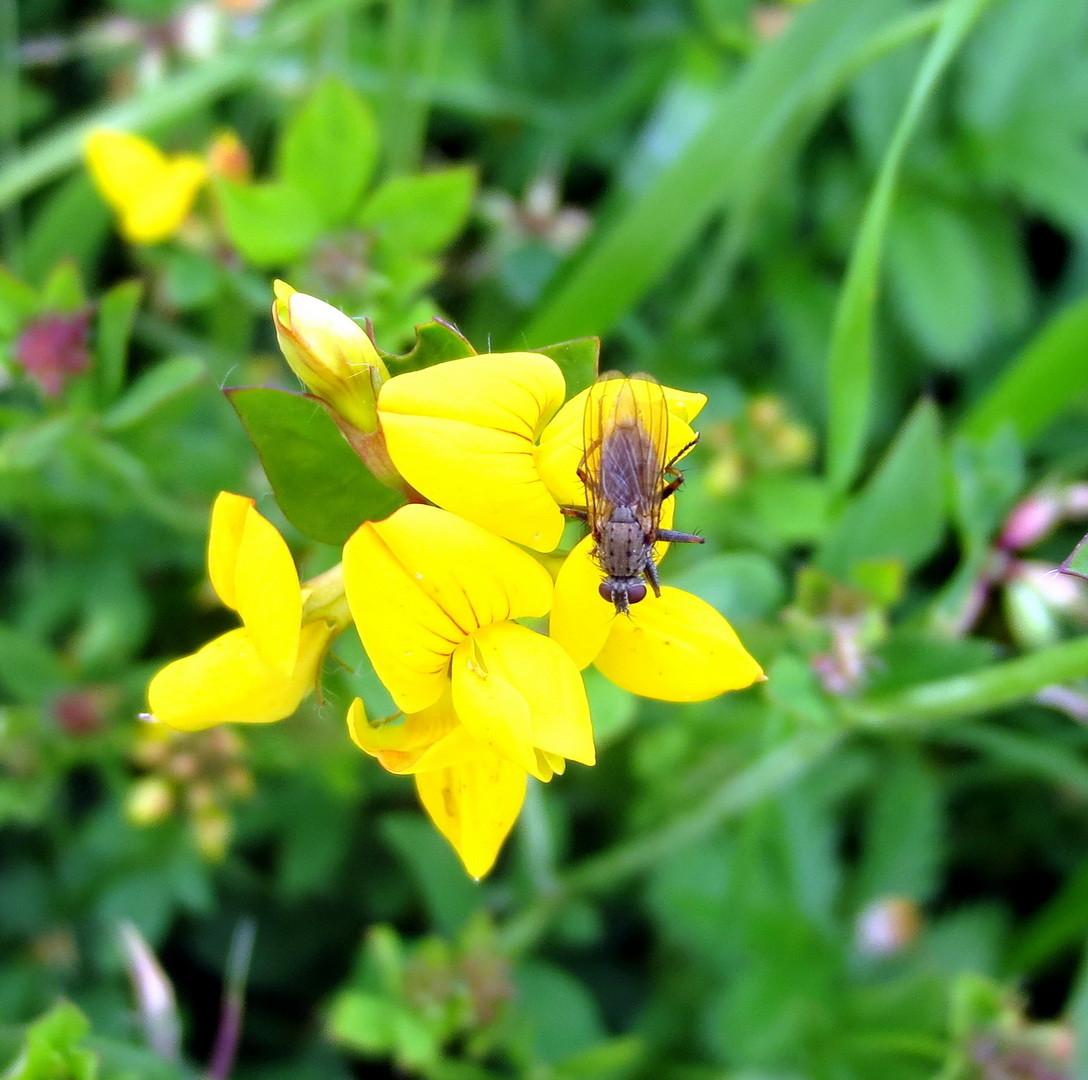 Gewöhnlicher Hornklee (Lotus corniculatus) 01.07.2014