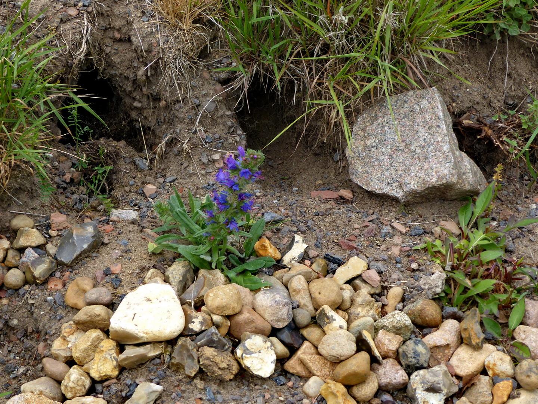 Gewöhnlicher Natternkopf (Echium vulgare) Juni 2015