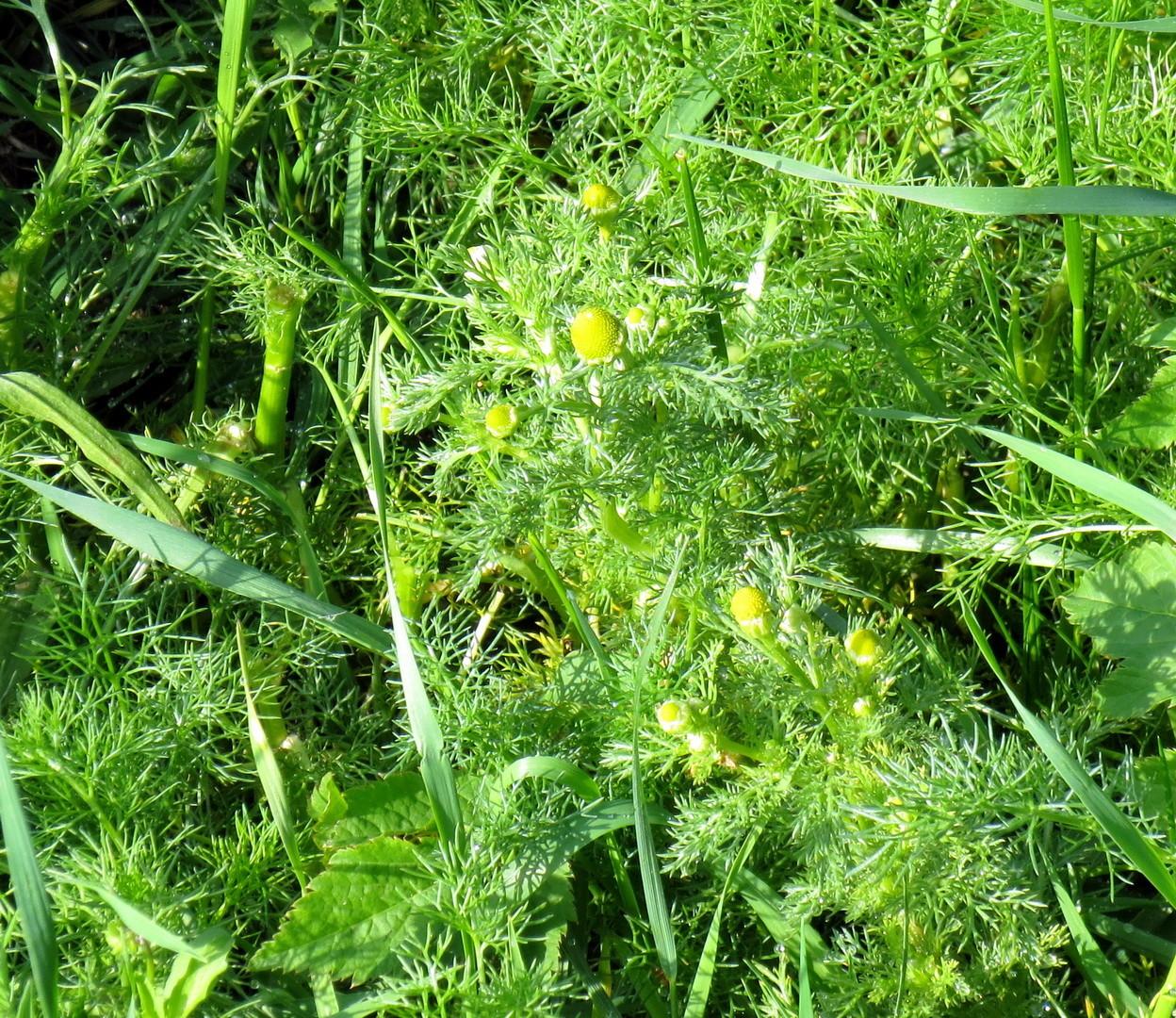 Strahlenlose Kamille (Matricaria discoidea) 10. Mai 2014