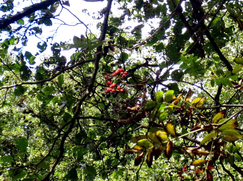 Vogelbeere oder Eberesche (Sorbus aucuparia)