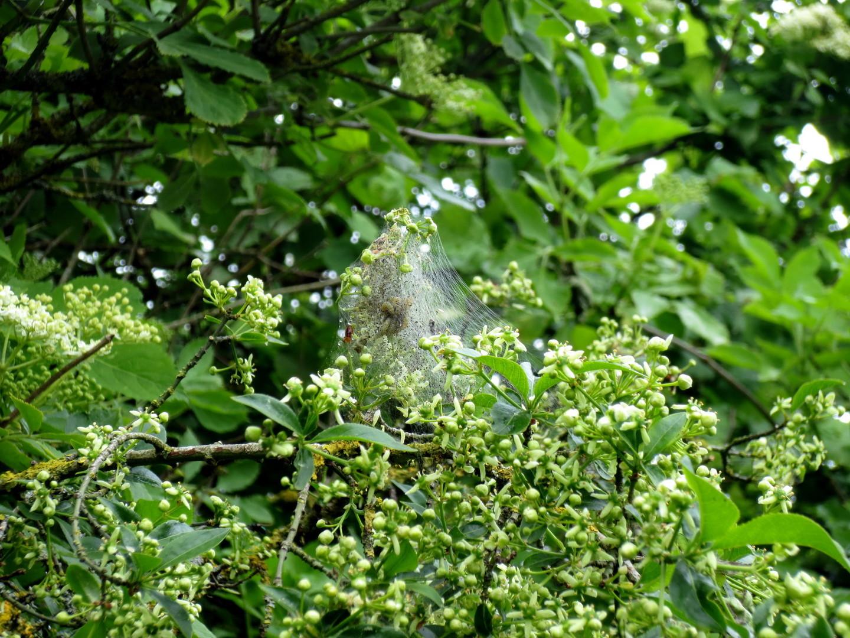 Europäisches Pfaffenhütchen (Euonymus europaeus) mit Pfaffenhütchen-Gespinstmotte (Yponomeuta cagnagella) 13. Mai 2014