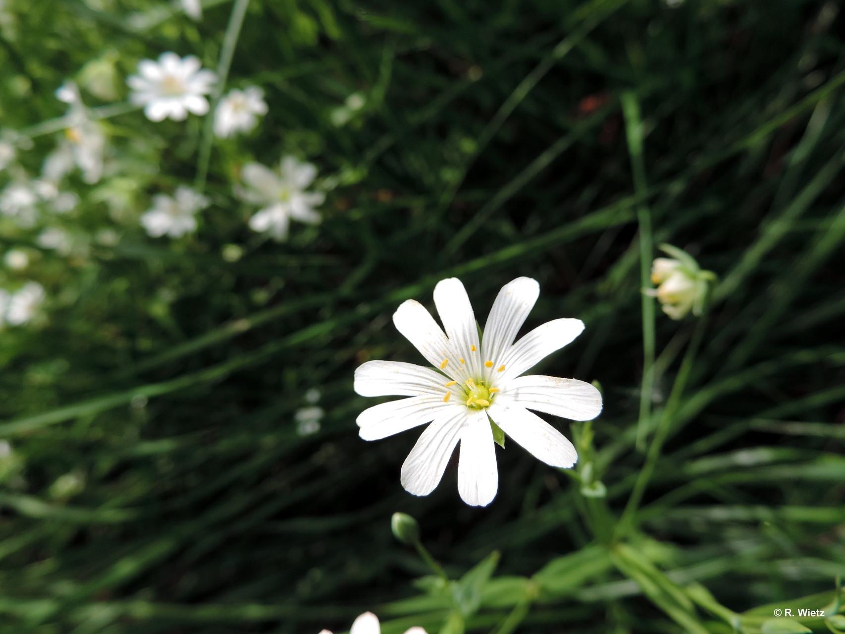 Echte oder große Sternmiere (Stellaria holostea L.) 01.Mai 2014