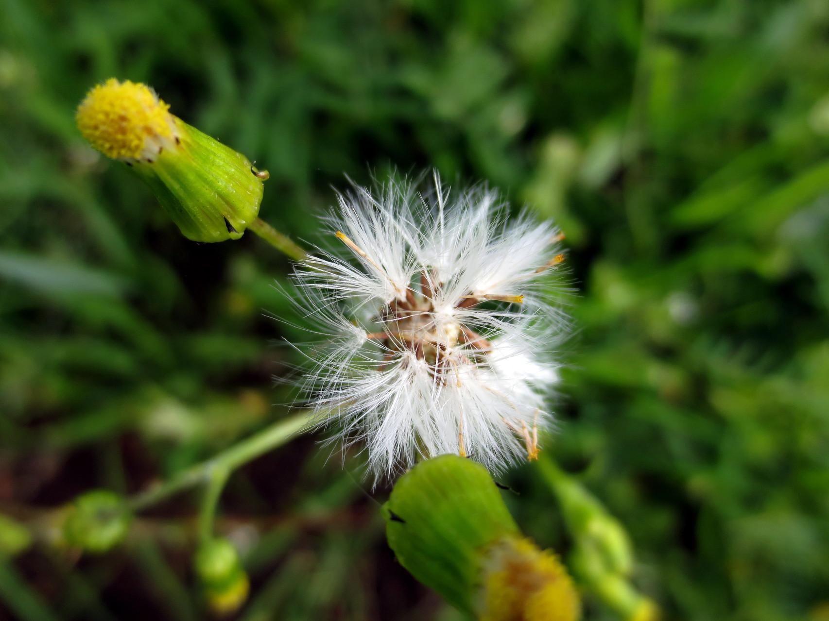 Gewöhnliches Greiskraut (Senecio vulgaris) 11. Juni 2014
