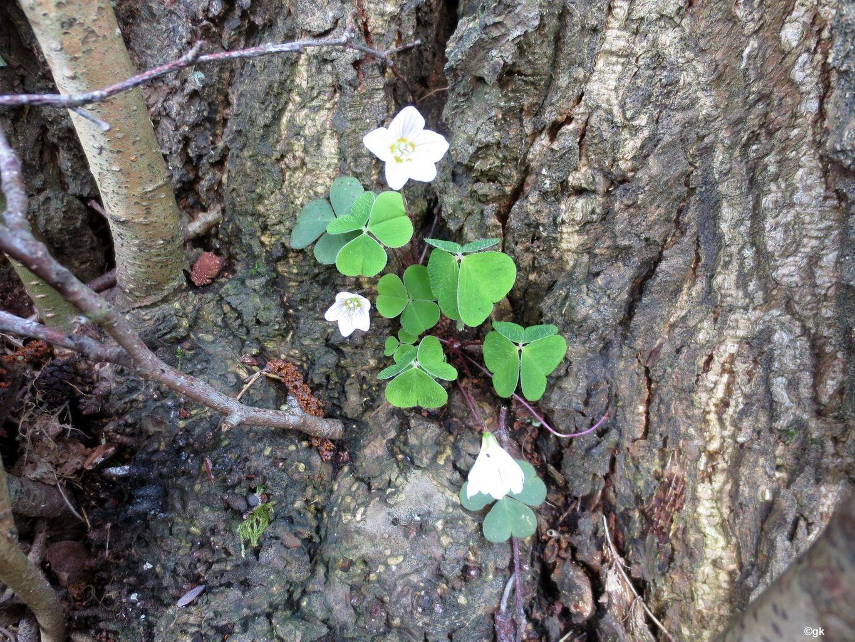 Wald-Sauerklee (Oxalis acetosella) 07.04.2014