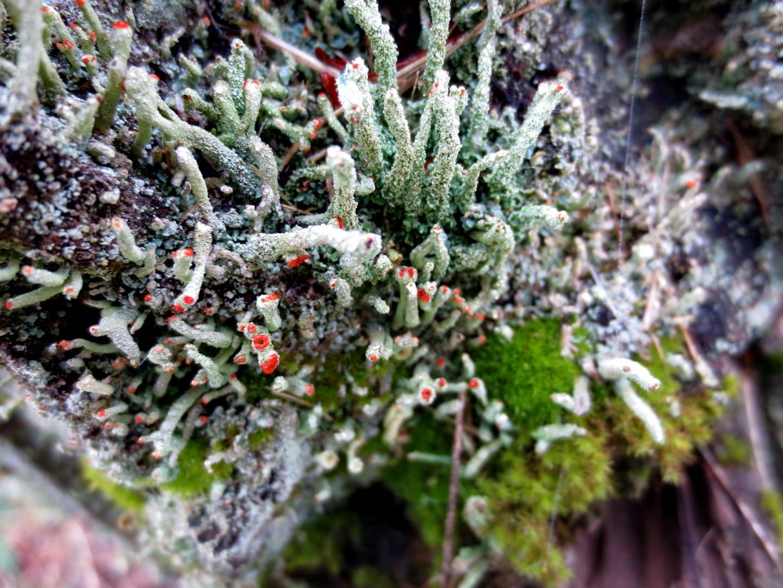 Cladonia macilenta 18.10.2014