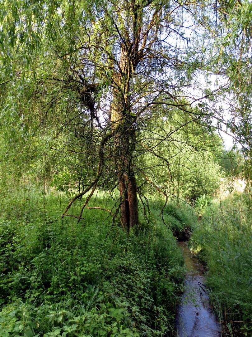 Silber-Weide (Salix alba) 25. Mai 2014