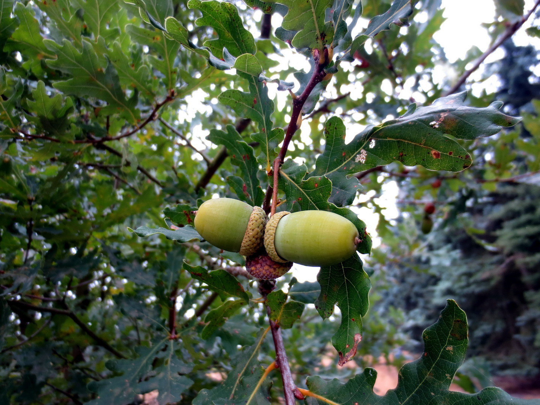 Stiel-Eiche (Quercus robur)