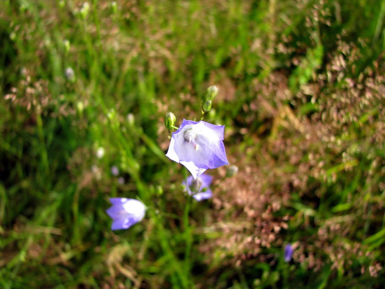 Rundblättrige Glockenblume (Campanula rotundifolia) 12.07.2014