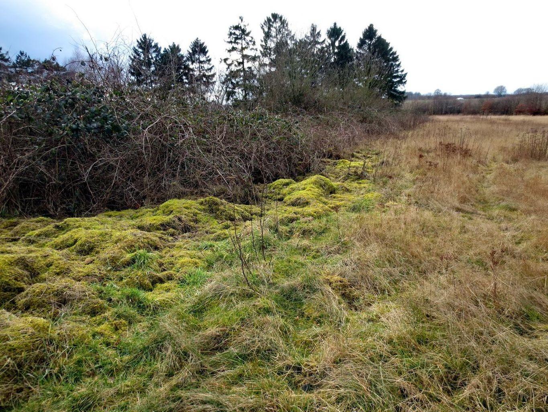 wo im Herbst das Mähgut abgelagert wurde, wächst jetzt Brachythecium rutabulum (Gemeine Kurzbüchsenmoos auch Krückenförmiges Kurzbüchsenmoos) 21. Februar 2014