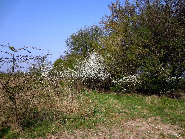 gewöhnliche Schlehe, Schwarzdorn (Prunus spinosa)