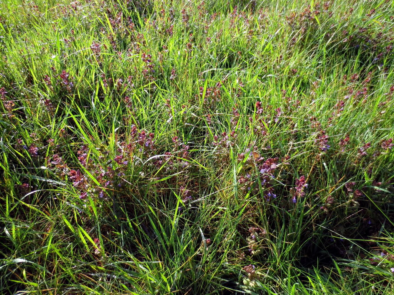 Gundermann (Glechoma hederacea) 10. Mai 2014