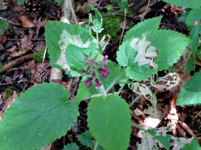 Wald-Ziest (Stachys sylvatica)  23. Juni 2014