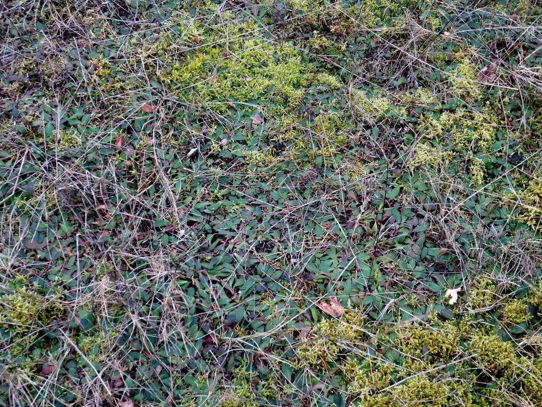 Hieracium pilosella (Kleines Habichtskraut oder Mausohr-Habichtskraut) ist ein Säure- und Magerkeitszeiger 21. Februar 2014