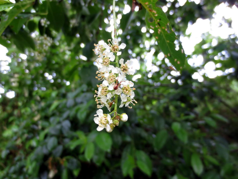 Spätblühende Traubenkirsche (Prunus serotina) 25. Mai 2014
