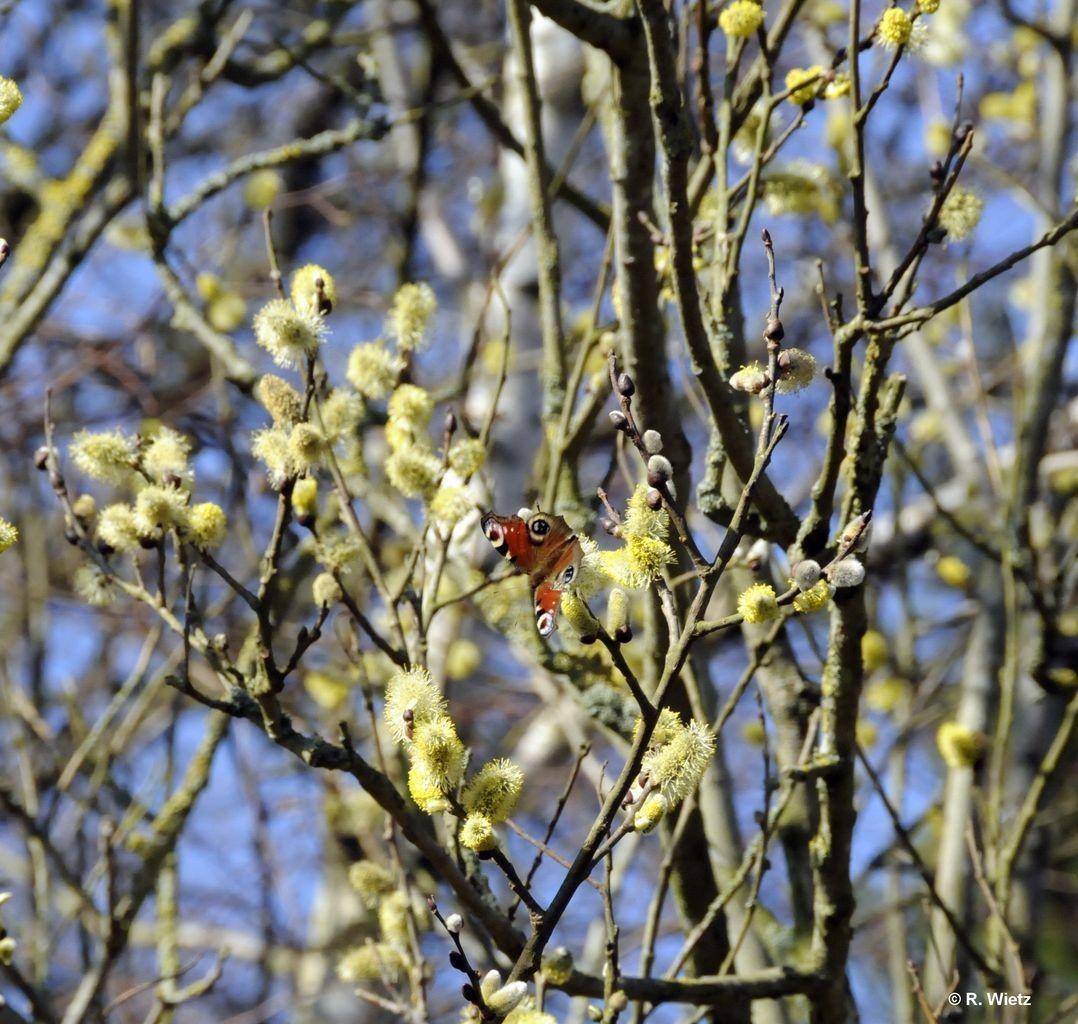 Tagpfauenauge (Inachis io) 11. März 2014