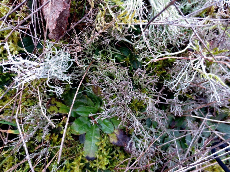 wo wenig Gras ist, wächst eine Cladonie 21. Februar 2014