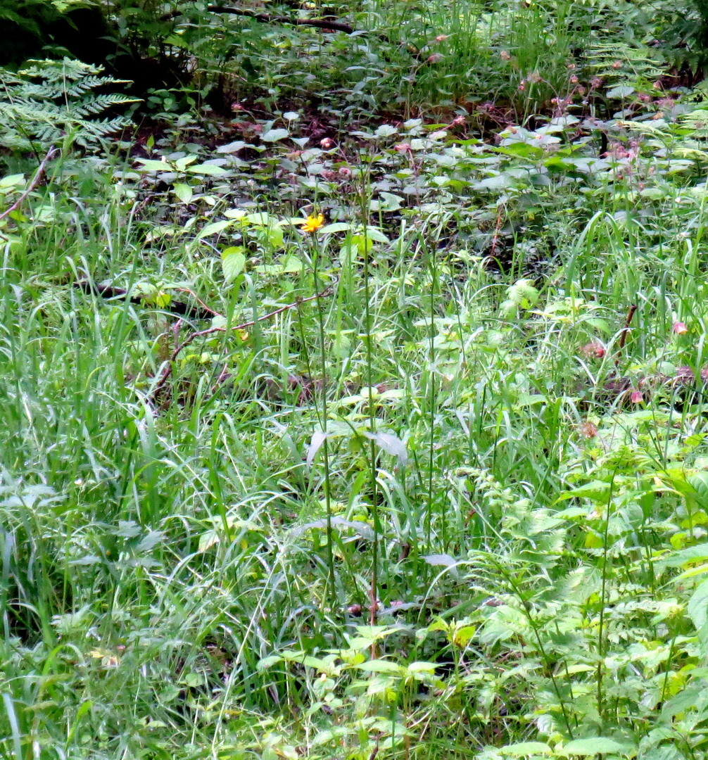 Sumpf-Pippau (Crepis paludosa) 25. Mai 2014
