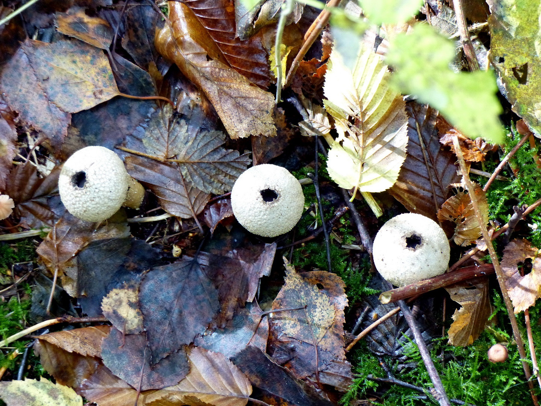 Stäubling (Lycoperdon)