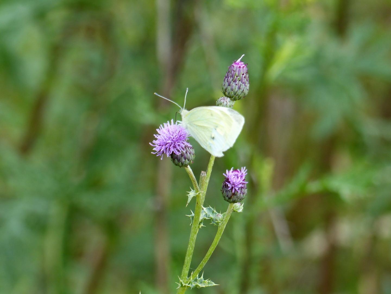 Weißling (Pieridae)