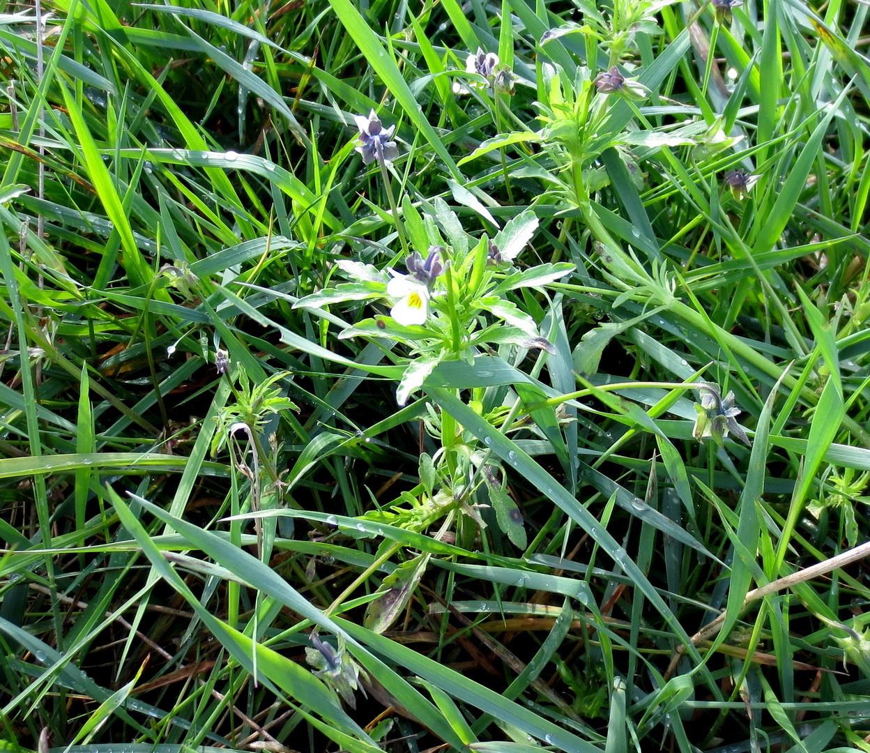 Acker-Stiefmütterchen (Viola arvensis) 10. Mai 2014