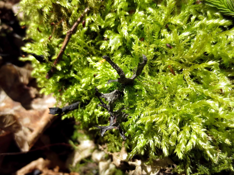 Geweihförmige Holzkeule (Xylaria hypoxylon)  16.04.2014