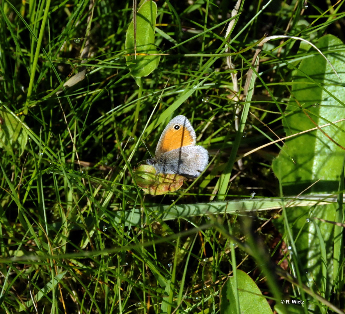 Kleines Wiesenvögelchen (Coenonympha pamphilus)  17.05.2014