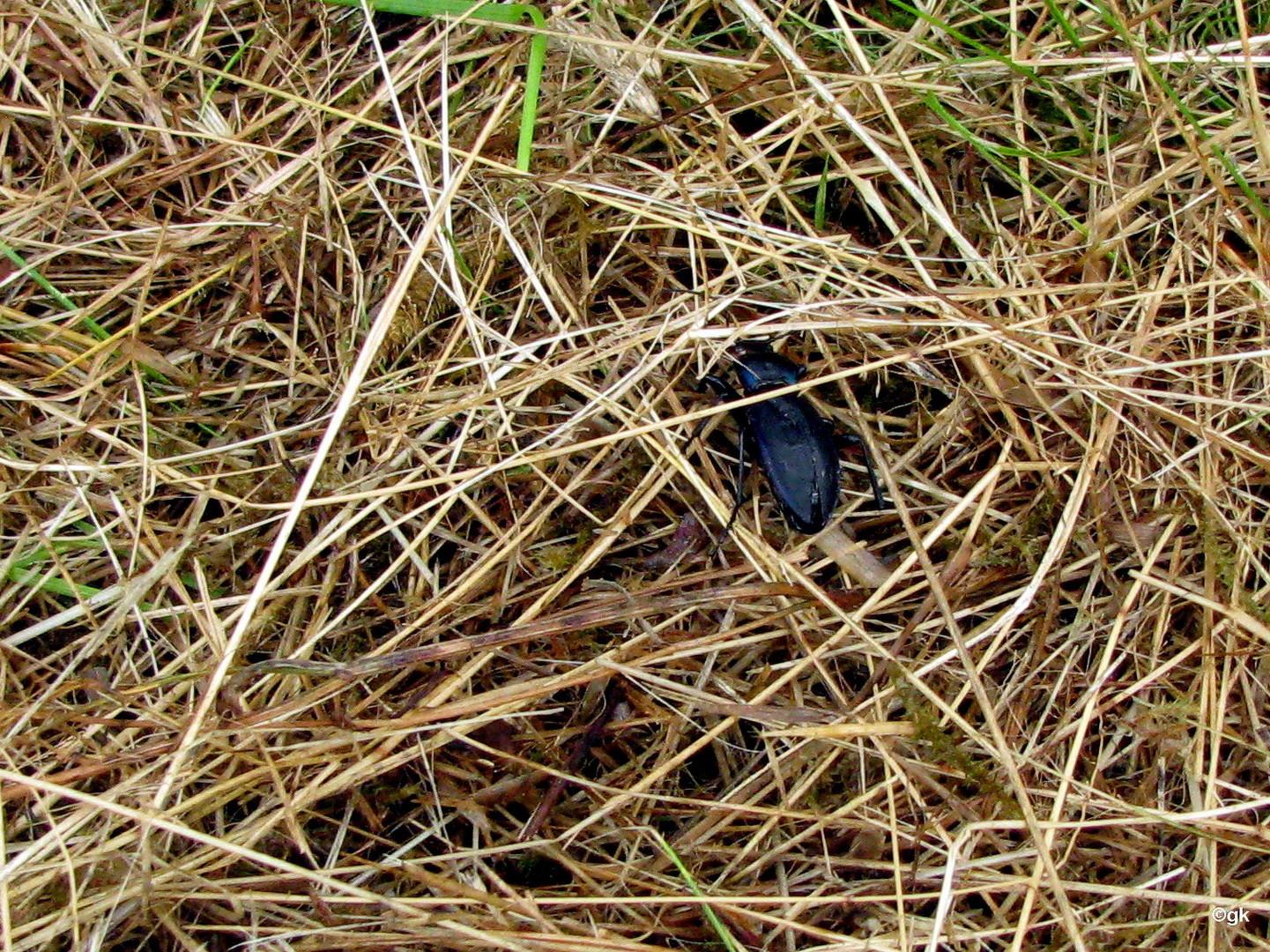 Goldleiste (Carabus violaceus) gem.NLWKN  eine bes.geschützte Art in der BRD