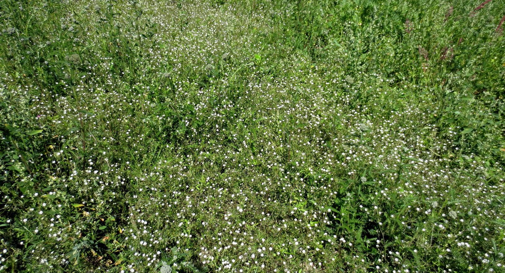 Acker-Spark (Spergula arvensis) 16. Juni 2014
