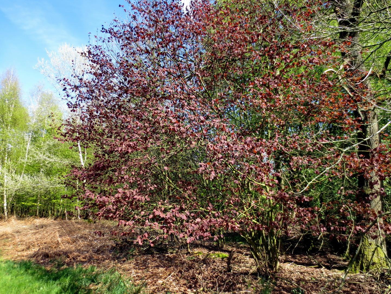 Blut-Buche, auch Purpur-Buche (Fagus sylvatica f. purpurea)  16.04.2014