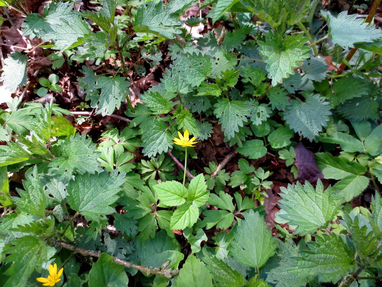 Scharbockskraut (Ranunculus ficaria L.,)  16.04.2014