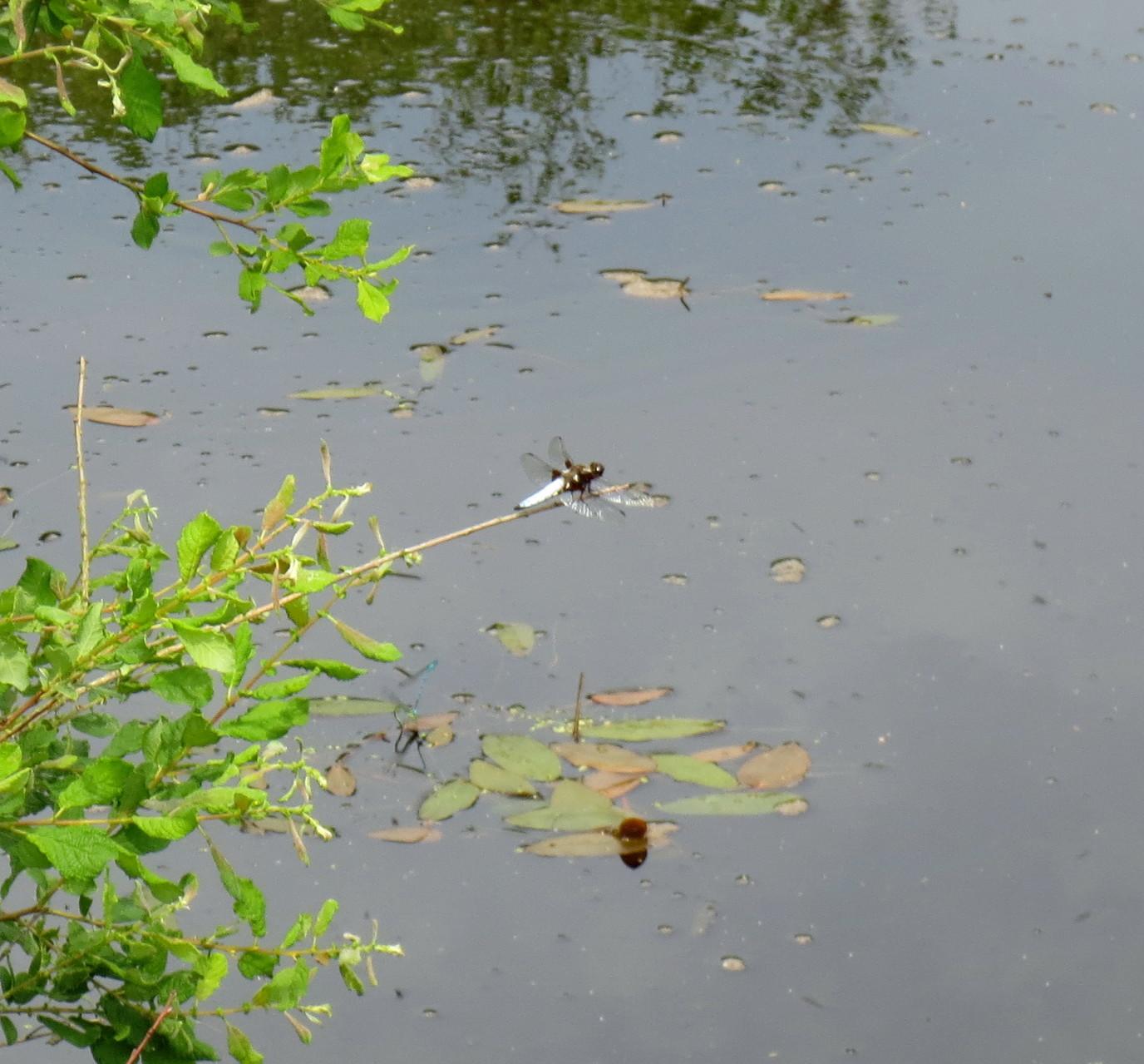 Plattbauch (Libellula depressa), Männchen 8. Juni 2014