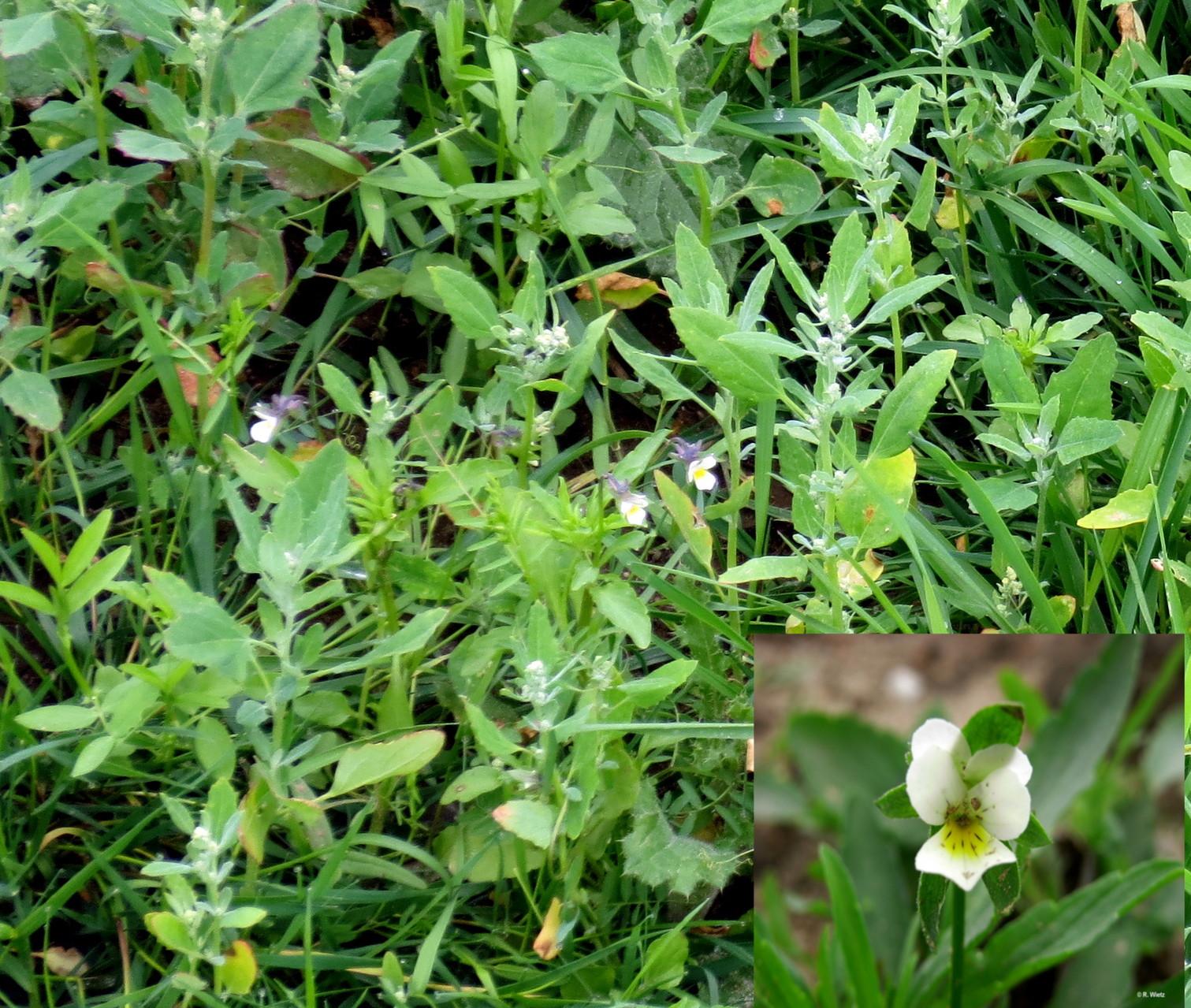 Acker-Stiefmütterchen (Viola arvensis) 29. Mai 2014