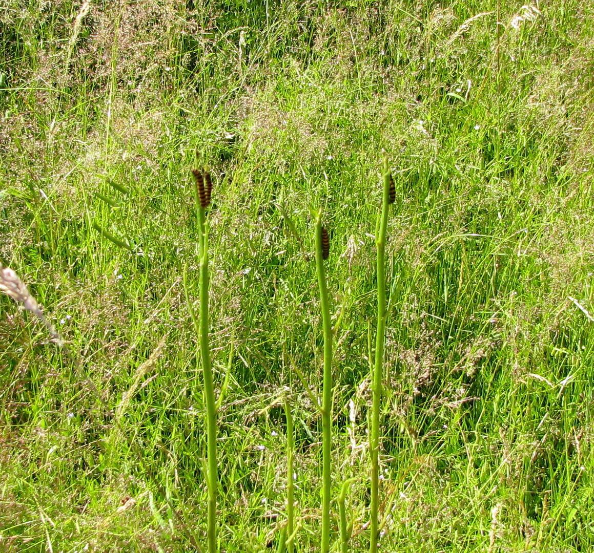 So sehen Pflanzen aus, wenn die Raupen des Blutbärs (Thyria jacobaeae) satt sind! 04.07.2014