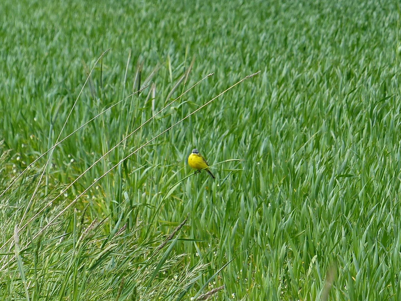 Schafstelze (Motacilla flava) 21.05.2015