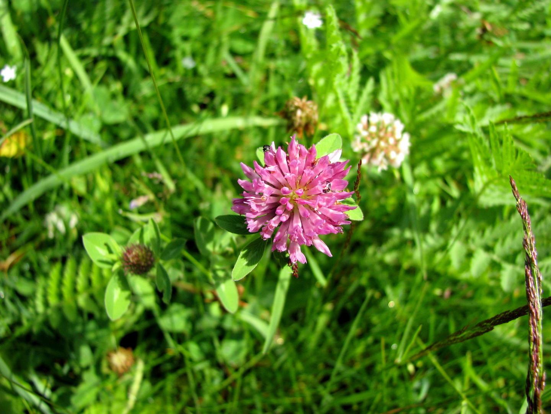 Rot-Klee (Trifolium pratense)  27.06.2014