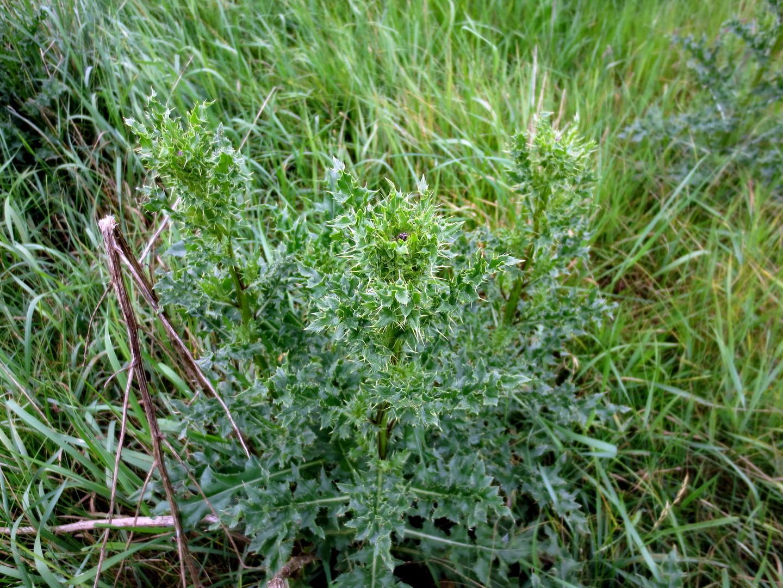 Gewöhnliche Kratzdistel (Cirsium vulgare) 29. Mai 2014