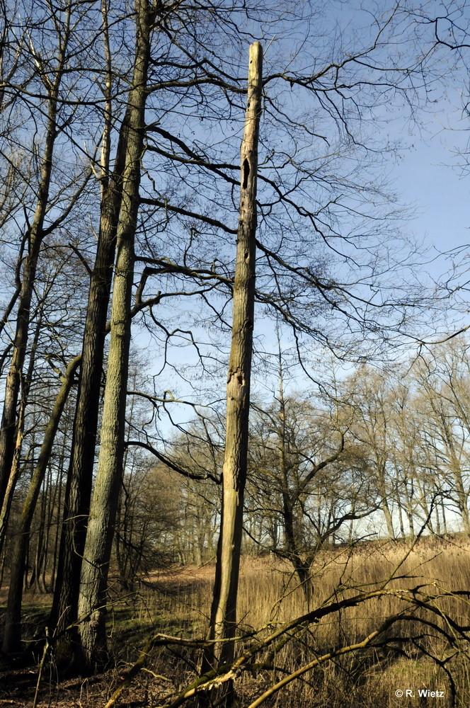 Specht-Baum