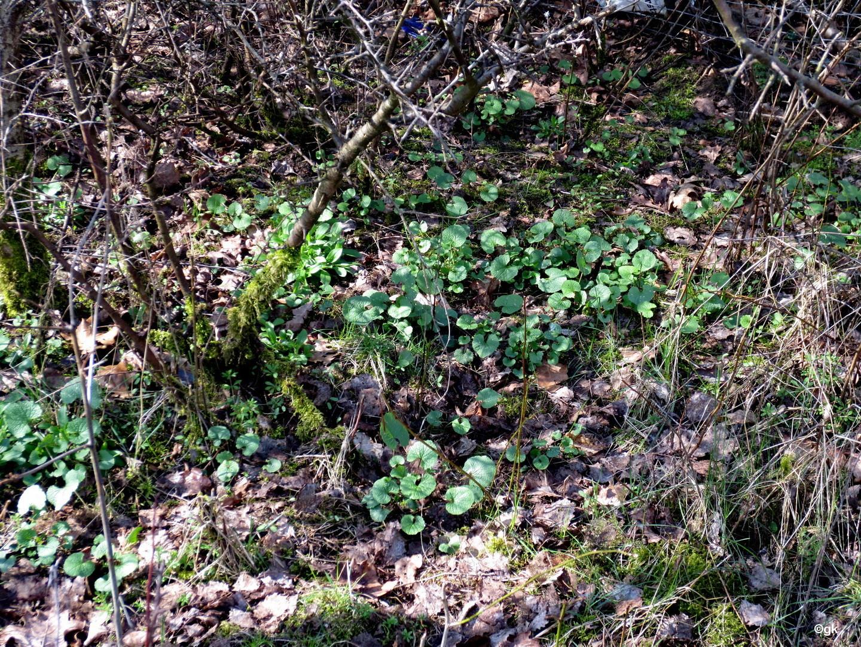 Knoblauchsrauke (Alliaria petiolata)  27.03.2014