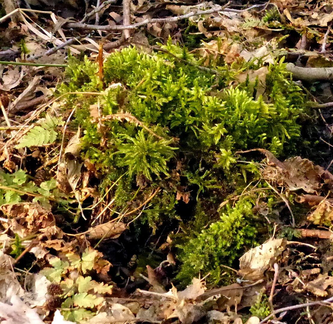 Climacium dendroides Bäumchen-Leitermoos
