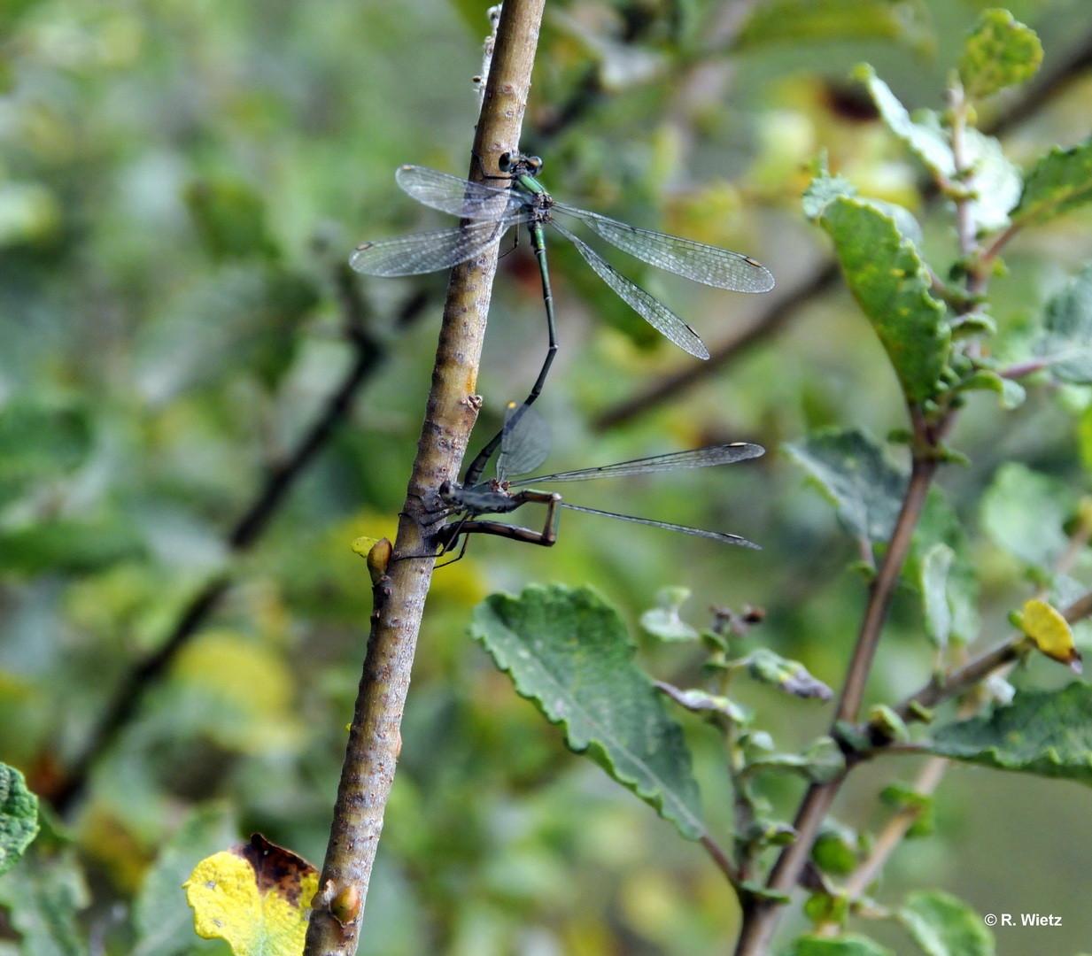Gemeine Weidenjungfer(Laestes viridis) 27.09.2014