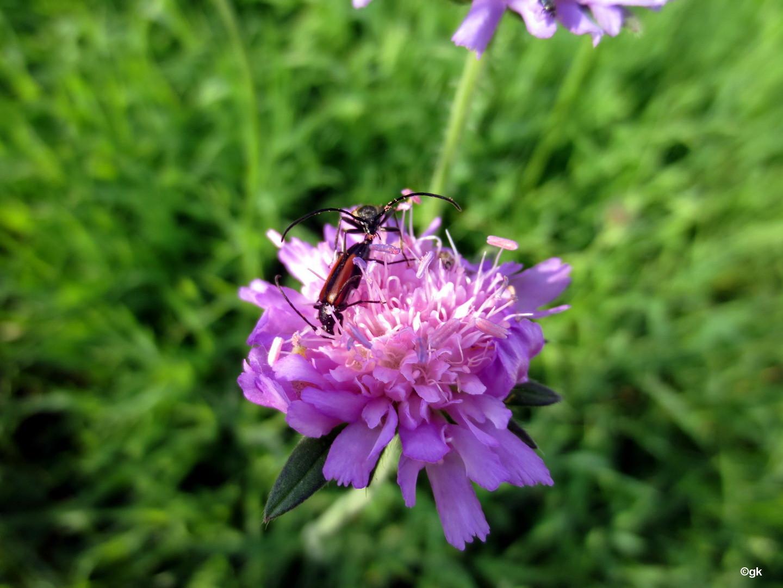 Bockkäfer (Cerambycidae) 11. Juni 2014