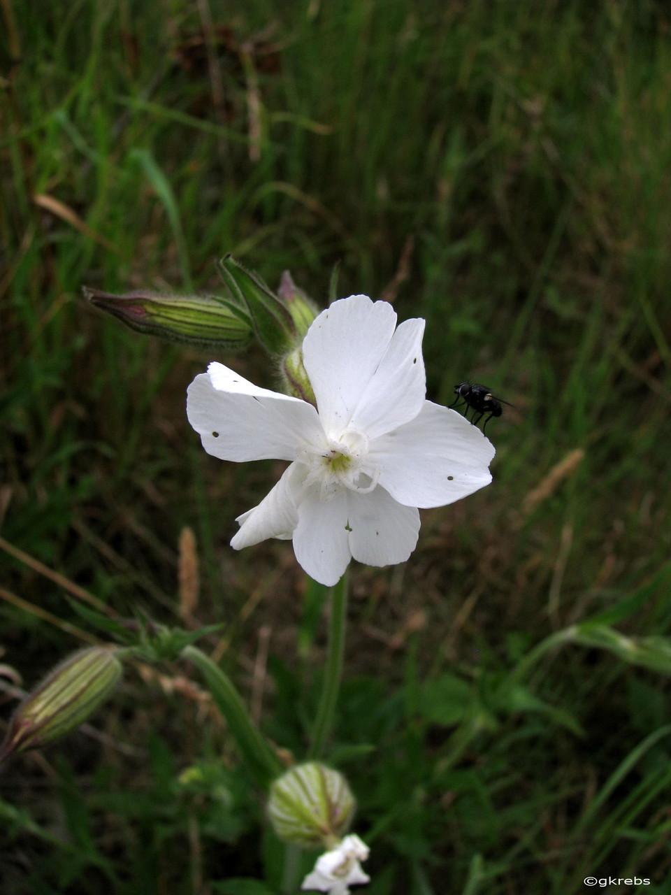 Lichtnelke weiße Silene latifolia  02.08.2014