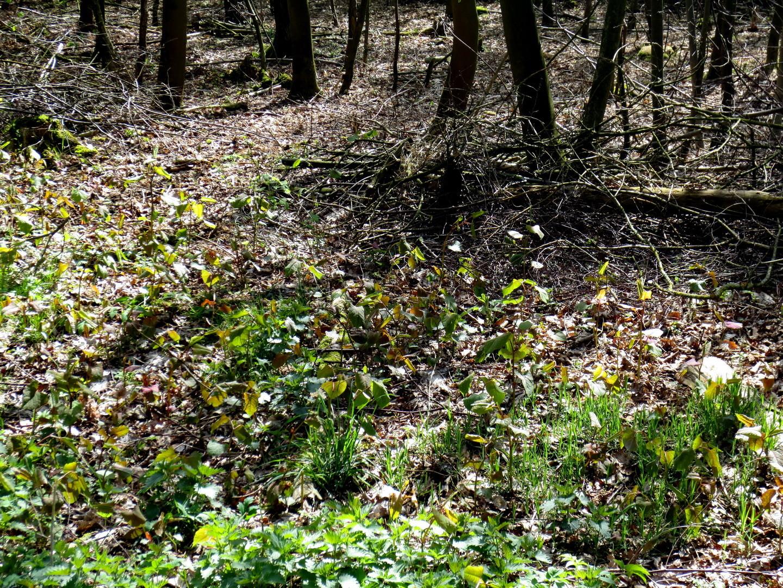 Japanischer Staudenknöterich (Fallopia japonica) ein aggressiver Neophyt  16.04.2014